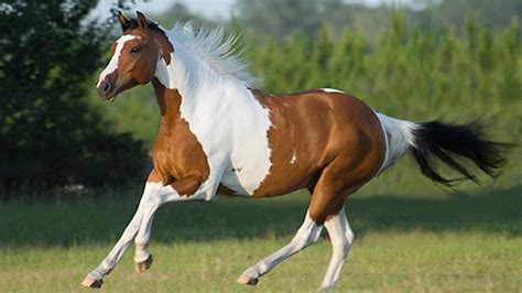 horse paint american painted most horses facts breeds chestnut expensive race championships queensland gallop powered gray