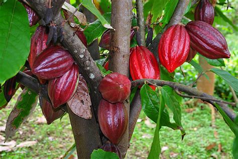 chocolate plants parkinson s resource organization information and assistance to parkinson s patients