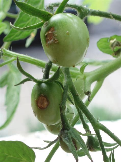 Windowsill Tomatoes by A Cook And Windowsill Green Tomatoes Brown Patches