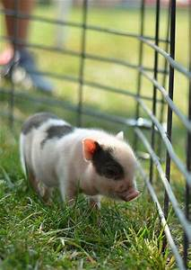 Cute baby pigs, Teacup pigs and Piglets on Pinterest