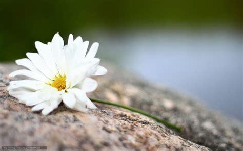 fond d 馗ran bureau tlcharger fond d 39 ecran fleurs fond widescreen fleuron fonds d 39 ecran gratuits pour votre rsolution du bureau 1920x1200 image 581357