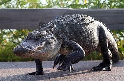 Walking Alligator Alligators Florida Animals Reptiles Cool