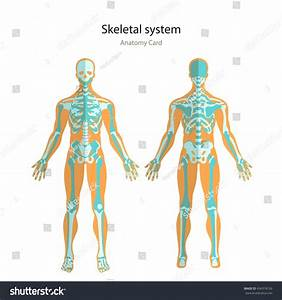 Anatomy Guide Of Human Skeleton  Anatomy Didactic Board Of
