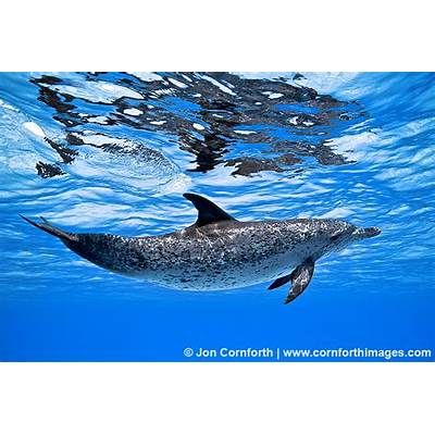 Spotted Dolphin Archives - Cornforth Images