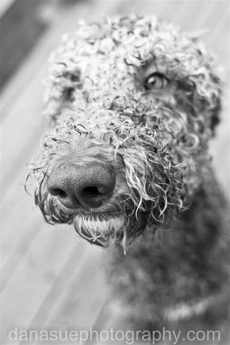 wet standard poodle!   Standard poodle, Poodle, Puppy photos