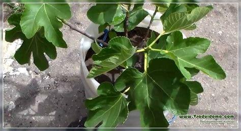 Mājas vīģes (foto) - stādīšana un kopšana | Vietne par dārzu, māju un telpaugiem.