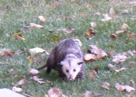 Possum Backyard by Possum In The Back Yard In My Yard