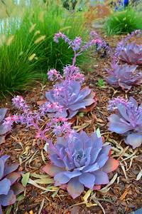 Pflanze Lila Blätter : tolle design pflanzen sukkulenten garten ~ Eleganceandgraceweddings.com Haus und Dekorationen
