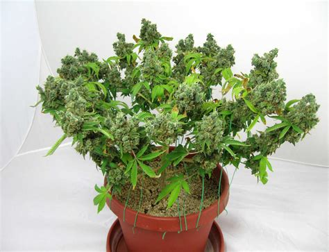Low Stress Training Lst Tutorial How To Increase