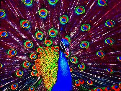 Peacock Optilux Multicolored Drawing Deviantart Paint