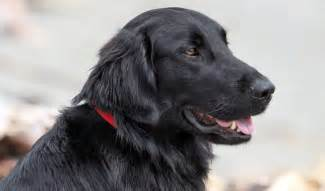flat coated retriever breed information