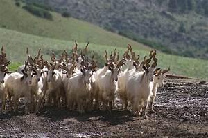 Razas italianas de cabras: Girgentana