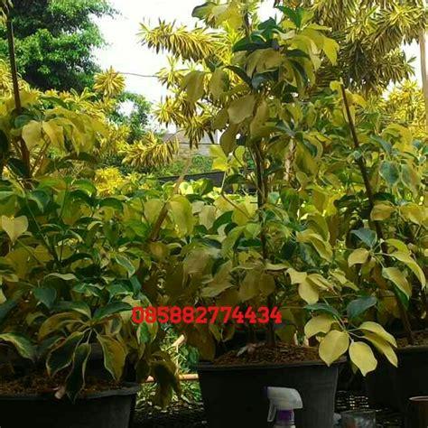 penjual tanaman hias tanaman pelindung tanaman peneduh