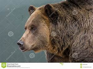 Grizzly Bear Stock Photo - Image: 49440196