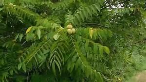 U00c1rbol De Nueces O Nogales Planta Silvestre En America