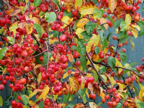 crab apples trees 301 moved permanently