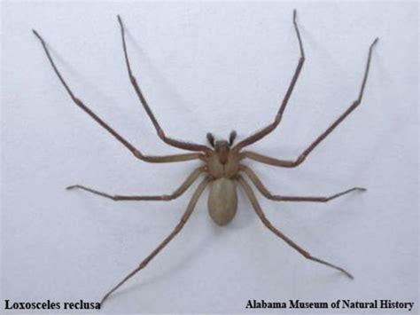 signification araignee dans une maison une dangereuse araign 233 e am 233 ricaine dans le vaucluse vsd