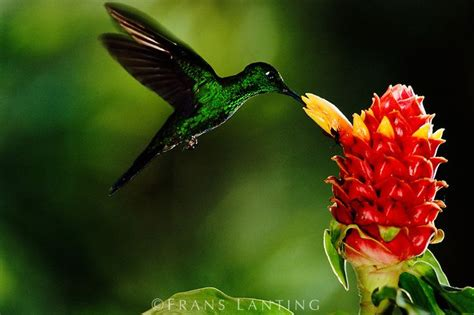 17 best images about hummingbirds on pinterest english