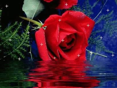 Roses Sparkle Rose Fanpop Flower