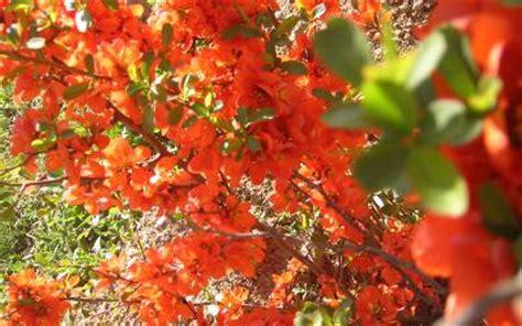 strauch mit roten blüten farbgarten farben im garten auf balkon und terrasse