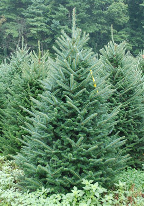 fraser fir coniferous forest
