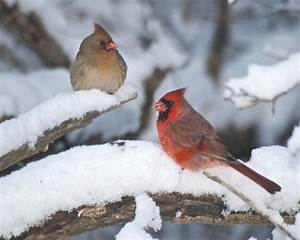 The gallery for --> Pair Of Cardinals In Snow