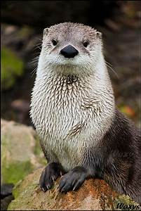 North American River Otters live near rivers, lakes ...