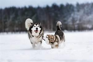 Alaskan Malamute vs Siberian Husky: All you need to know ...