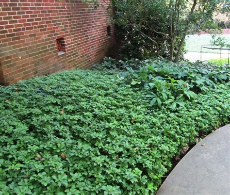 shade ground cover 6 tips for growing grass in shade
