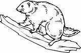 Beaver Coloring Pages Muskrat Drawing Dam Printable Animals Hoover Wildlife Sheet Getdrawings Getcolorings Results Wood sketch template