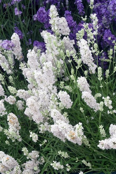 varieties of lavender plants 17 best images about all lavender varieties on pinterest growing lavender spikes and flower
