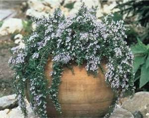 Creeping Rosemary Can Be Put In Planter Pot