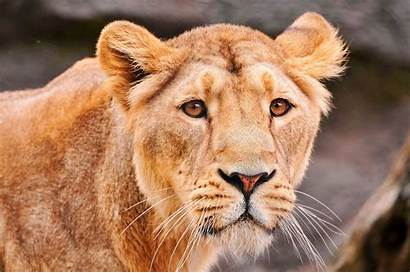 Lioness Lion Wallpapers Lions Animal Face Asiatic