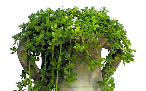 Duftpflanzen Für Die Wohnung by Brahmi Pflanze Bacopa Monnieri Anti Aging Kr 228 Uter