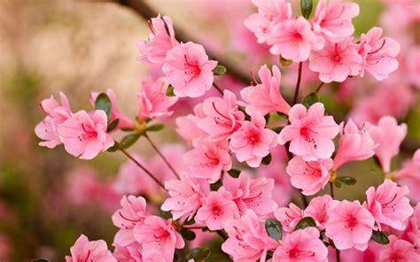 Pink Blossoms [8] Wallpaper  Flower Wallpapers #47559