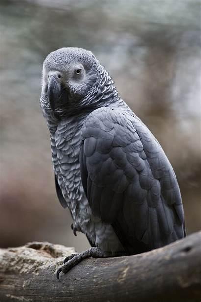 Parrot African Grey Parrots Marshmallow Test Pet