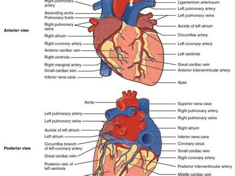 heart blood vessels  human anatomy  carried