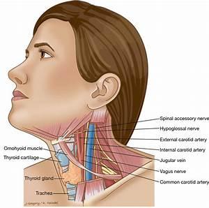 Throat Glands Anatomy - Human Anatomy Diagram