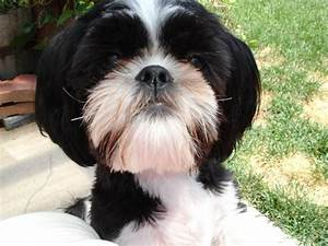 Maltese Shih Tzu Puppies for Sale, Rescue Organizations ...