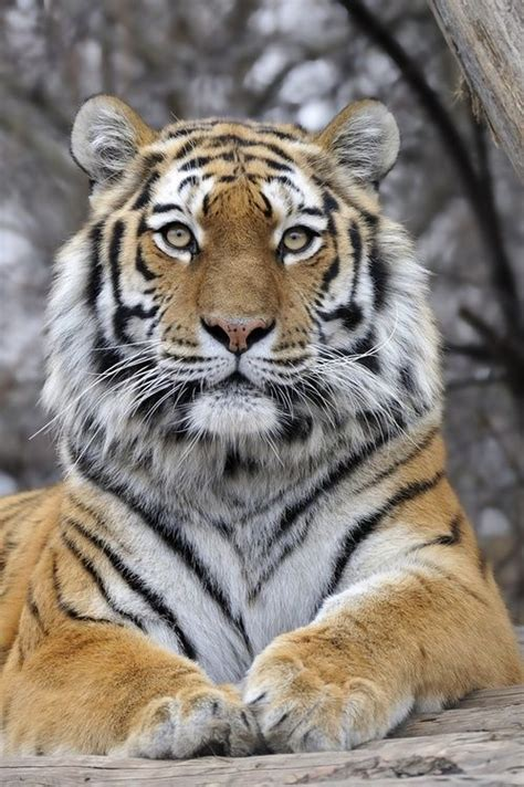 Best Images About Tigers Pinterest Golden Tiger