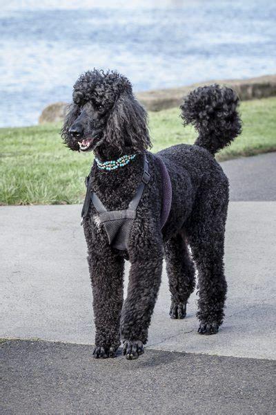 Poodle Type Dog Breeds