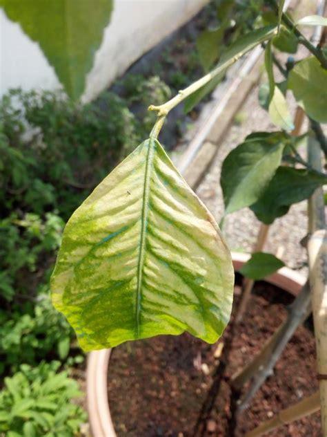 malattie limone in vaso pianta di limone con foglie arricciate pianta di limone