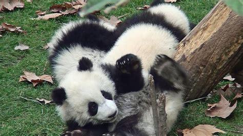 パンダ の 赤ちゃん