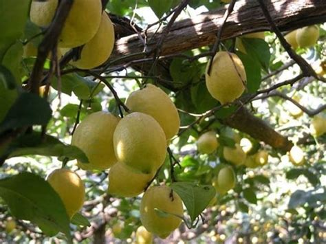 limone potatura vaso limone potatura piante da giardino potatura limone