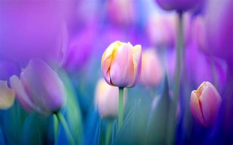 Tulip Picture Hd by Purple Tulips Ultra Hd Wallpaper Tulip Flowers