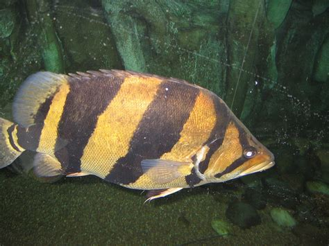Siamese Tigerfish