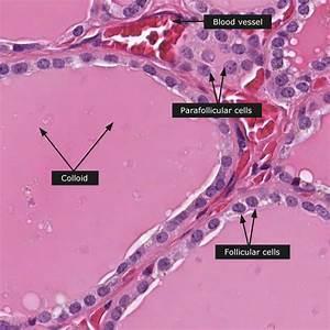 Dictionary - Normal  Thyroid Gland