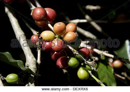 There aren't enough food, service, value or atmosphere ratings for arabica coffee house is this primarily a coffee shop?yes no unsure. Arabica coffee plantations near Poas volcano. Central Valley. Costa Stock Photo: 33083451 - Alamy