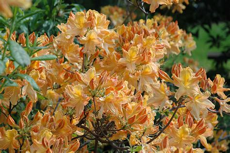 Golden Lights Azalea by Golden Lights Azalea Rhododendron Golden Lights In