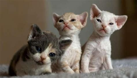 Devon Rex, Devon Rex Kittens Available Now, Cats, Buy Or